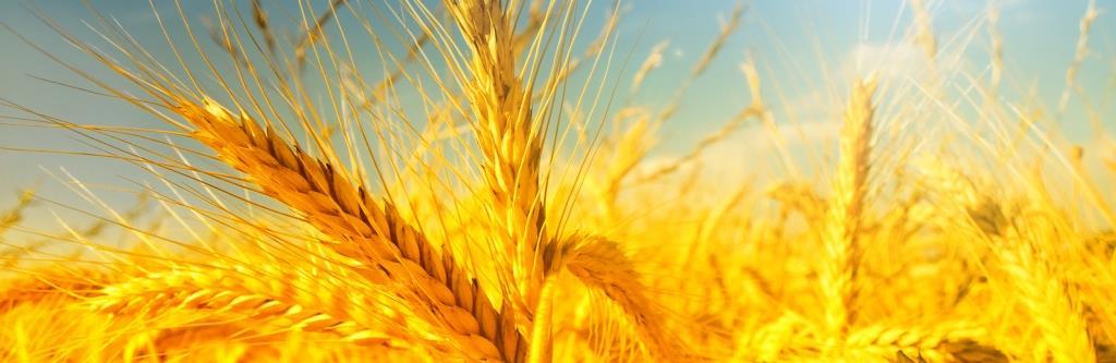 Getreidefeld_Weizen-1